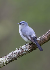 Blue Gray gnatcatcher.Lake hope Ohio. (mandokid1) Tags: canon 1dx ef600mm11 birds