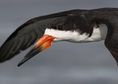 Black Skimmer Closeup (PeterBrannon) Tags: ocean bird nature fishing gulf florida wildlife flight skimmer blackskimmer skimming rynchopsniger pinellascounty