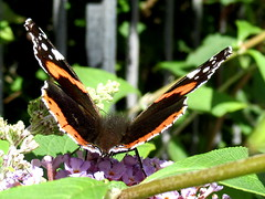 Red Admiral (billnbenj) Tags: barrow cumbria butterfly redadmiral buddleia purple