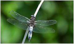 Scarce Chaser. (Fen Photos) Tags: woodwaltonfen greatfen greatfenproject wildlifetrust bcnwildlifetrust nnr cambridgeshire scarce chaser dragonfly scarcechaser