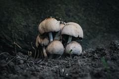 Group of summer mushrooms (Rico Plooster) Tags: fotografie photography canon canoneos80d nederland holland dutch thenetherlands mushroom mushrooms fungi paddenstoel nature macro brielle