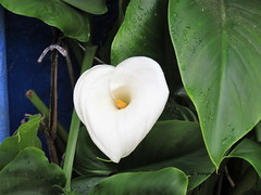 Calla Lily (Zantedeschia aethiopica) (Gerald (Wayne) Prout) Tags: callalily camera flowers plants plant portugal digital canon garden photography lily calla powershot evergreen lilies alleyway photographed plantae araceae ornamental hs perennial walled prout zantedeschia zantedeschiaaethiopica herbaceous angiosperms monocots aethiopica rhizomatous alismatales sx60 parishofsantamaria districtofleiria canonpowershotsx60hs geraldwayneprout townofobidos town walls parish district santamaria obidos leiria municipalityofóbidos