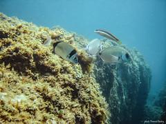 Sars et Girelle (francisaubry) Tags: plongée snorkeling sars cerbère poissons apnée girelle fish méditerranée