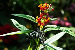 Zoo Butterfly 2 (Bracus Triticum) Tags: zoo butterfly アルバータ州 alberta canada カナダ calgary カルガリー 7月 七月 文月 shichigatsu fumizuki bookmonth 2019 reiwa summer july