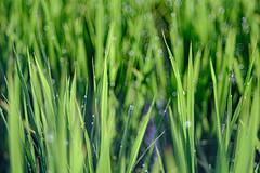 DSCF1887 Rice Field (Keishi Etoh rough-and-ready photoglaph) Tags: fujifilm xh1 fujifilmxh1 apsc fujinon55mmf22 fuji 825mm mf manualfocuslens primelens fixedfocallengthlens oldlens m42 単焦点 中望遠