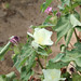 cotton bloom 4