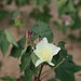 cotton bloom 2