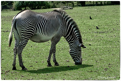 Stripey (Missy2004) Tags: nikkor70300mmf4556afsifedvr marwellzoo zebra 119picturesin2019 100119