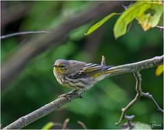 Migration has Started (Summerside90) Tags: birds birdwatcher warblers capemaywarbler august summer backyard garden nature wildlife ontario canada