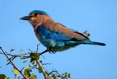 Indian roller (Meino NL) Tags: indianroller srilanka coraciasbenghalensis indischescharrelaar coracias vogel bird coraciiformes scharrelvogels aves kaudullanationalpark