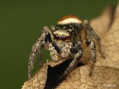 Jumping Spider, Freya decorata, Salticidae (Ecuador Megadiverso) Tags: andreaskay arachnida ecuador freyadecorata jumpingspider salticidae spider