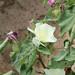 cotton bloom 5