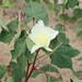 cotton bloom 3