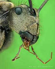 Ant (KIến rừng) (Hai Hiu) Tags: animal insect macro extrememacro ant