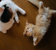 83/365 (Nazra Z.) Tags: cats munchkin minuet kitten homoe playing indoors natural light window raw vscofilm 2019 okayama japan ayearofjoys 365