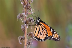 Monarch (Daniel Cadieux) Tags: monarch butterfly ottawa field grasslands