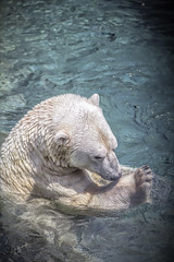 My Paw is Wet (><Nessa><) Tags: zoo color allthecolours polarbear water outside animals fauna summer fun bears light hdr makemesmile white blue copyrightvanessabartosek