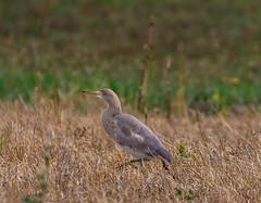 15 08 2019 (cathyk31) Tags: oiseau crabierchevelu ardeolaralloides ardéidés pélécaniformes squaccoheron bird