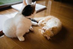 2019.8.15 (Nazra Z.) Tags: cats munchkin minuet kitten homoe playing indoors natural light window raw vscofilm 2019 okayama japan