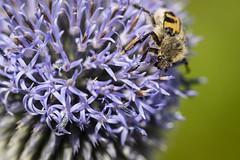 Gebänderter Pinselkäfer (memories-in-motion) Tags: soca 2019 macro nature canon bug insect slovenia slo ef100mmf28lmacroisusm canoneos5dmarkiv pinselkäferflowe