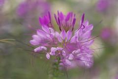 Streamers (charhedman) Tags: anyhintsontheid urbanbee fieldofflowers victoria streamers pink green flowers macro bokeh