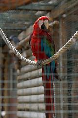 Loro (katamotza22) Tags: loro guacamayo rojo aves color red jaula rejas cuerda psitacidas sendavida navarra nafarroa sony alpha 77 sonya77 70200mm sony70200ssm