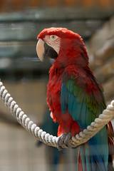 Loro 2 (katamotza22) Tags: loro guacamayo rojo aves color red jaula rejas cuerda psitacidas sendavida navarra nafarroa sony alpha 77 sonya77 70200mm sony70200ssm