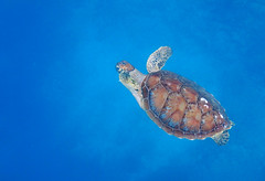 Sea Turtle at Yabiji (Nana* <salala817>) Tags: seaturtle turtle snorkeling sea ocean miyakoisland okinawa japan 海 シュノーケル スノーケリング 沖縄 青 blue 海亀 亀 カメ ウミガメ 八重干瀬 yabiji