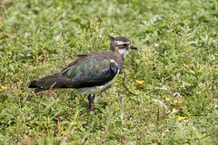 Lapwing (drbut) Tags: lapwing vanellusvanellus peewit plover farmland wetland avian bird birds wildlife nature