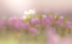 Flowers at an altitude of 2200 meters (Tomo M) Tags: mist flower mountain nature bokeh blur raindroplets waterdroplets pastel soft dreamy focus field alpineplant hokkaido rain fog 旭岳 aleutianavens チングルマ summer macro