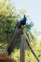 Pavo real (katamotza22) Tags: pavo real peacock azul blue guardian ave aves sony alpha 77 sonya77 sony70200ssm 70200mm