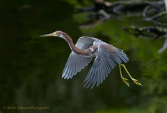 Tricolored Heron (Kevin James54) Tags: egrettatricolor nikon500mmpff56 nikond850 tricoloredheron wilmington animals avian bird heron kevingianniniphotocom