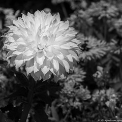 Kelvin Floodlight (Jim Frazier) Tags: 2019 20190723cantigny 2019cantigny asteraceae bw annual balance beautiful beauty blackandwhite bloom blooming blossoming blossoms blurredbackround botanic botanicgardens botanical botanicalgardens buroakgarden cantigny cantignypark closeup dahlia desaturated detail dupage dupagecounty flora floral flowering flowers forbs formalgardens gardening gardens highcontrast horticulture il illinois isolationofsubject jimfraziercom july kelvinfloodlight loadcode201908 middaylight minimalism monochrome museums natural nature parks photowalk plants points preserves publicgardens q4 ruleofthirds shallowdepthoffield shallowfocus simplicity sizeover1000 square study summer sunny wheaton