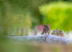 Baby Robin (Fleety Vision) Tags: baby robin bird erithacus rubecula bbc springwatch nature wild birds britain british