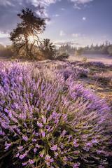 Warnsborn (Bram de Jong) Tags: heather sunrise flower landscape multipleexposures fujifilmxt3 f41024mm 3leggedthing glk gelderschlandschap arnhem gelderland holland