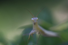 Hey you ! (PhotoNic31) Tags: prayingmantis mantereligieuse macro
