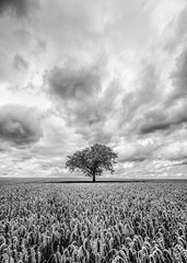 That tree again... (grbush) Tags: tree lonetree blackwhite bw monochrome storm clouds nature rural agriculture farming field wheat summer landscape bedfordshire england sonyilce7 tokinaatx116prodxaf1116mmf28 alone solitude