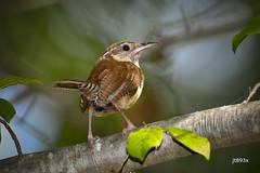 Carolina Wren (jt893x) Tags: 150600mm bird carolinawren d500 jt893x nikon nikond500 sigma sigma150600mmf563dgoshsms songbird thrythorusludovicianus wren