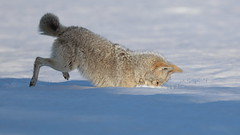 Take the plunge (Hammerchewer) Tags: coyote animal male mousing wildlife outdoor snow