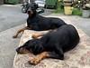 Too Comfortable - Two Comfortable Dobermanns (firehouse.ie) Tags: two dogs dog pinschers pinscher dobermanns dobermann dobermans doberman dobies dobie dobeys dobey dobes dobe animals animal gabbana saxon