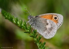 Coenonympha pamphilus (De Hollena) Tags: butterfly coenonymphapamphilus fadetcommun hooibeestje kleineswiesenvögelchen mariposa papillon schmetterling smallheath vlinder