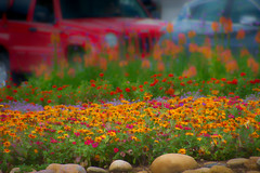 flower bed in Estes Park traffic (Pejasar) Tags: art artistic paint digitalcreations painterly flowers bed garden intown estespark colorado traffic cars impasto color splash