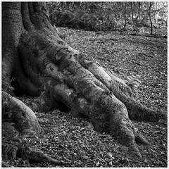 _DSC2573-Enhanced (alexcarnes) Tags: tree roots woods woodland alex carnes alexcarnes nikon d850 sigma 50mm f14 art