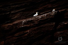 Chocolate Rocks (LawrieBrailey) Tags: wild wildlife photo photograph photography gannet rock cliff nest nesting wide wideangle angle low key dark moody uk scotland shetland england lawrie brailey nikon d810 afs nikkor 500mm f40 fl vr unusual guano light nature naturallight bird animal sea seabird water