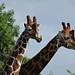 Giraffes 😜