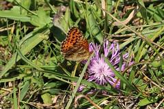 Boloria aquilonaris - Cranberry fritillary - Veenbesparelmoervlinder (Oberjoch, Germany) (Christian van de Ven) Tags: vlinder butterfly boloria papillon mariposa