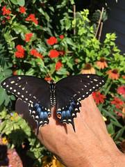 Raising Easter Black Swallowtails (Kim Beckmann) Tags: