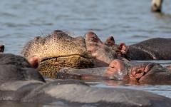 Hippo - Hippopotamus amphibius - Nijlpaard (cradenborg) Tags: c cceradenborg 2019 artiodactyla evenhoevigen hippopotamidae hippopotamus hippopotamusamphibius kenia kenya lakenaivasha nijlpaard openbaar public