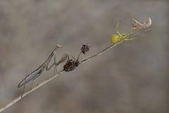Acorralada / Cornered (eme emepe) Tags: naturaleza nature mantis ameles arañacangrejo macro