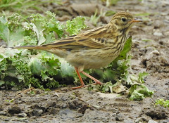 Meadow Pipit (Anthus pratensis) (Brian Carruthers-Dublin-Eire) Tags: meadow pipit anthus pratensis meadowpipit anthuspratensis motacillidae pitpit farlouse wiesenpieper bisbita comun graspieper riabhóg mhóna passeriformes pitpitfarlouse bisbitacomun riabhógmhóna bird animalia animal wildlife aves avian nature birdwatching estuary meadows field birdwatch birdwatchfb birdwatchireland creature grass